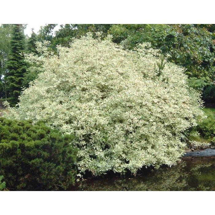 Dogwood Silver Variegated