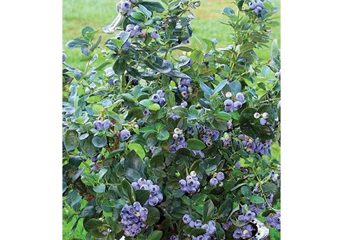 Blueberry North Country