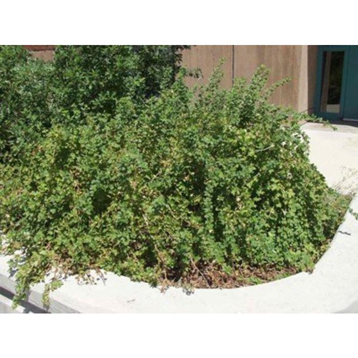 Gooseberry Captivator