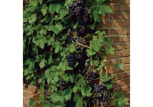 Grape Bluebell