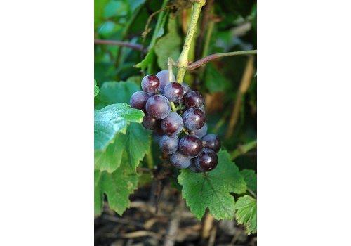 Grape Severnji