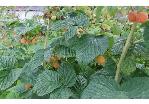 Raspberry Fall Gold