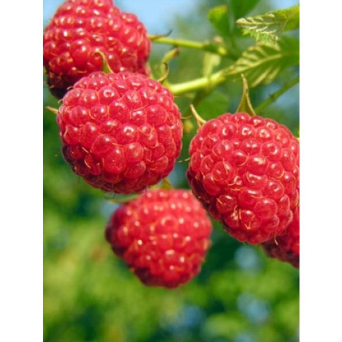 Raspberry Red Bounty