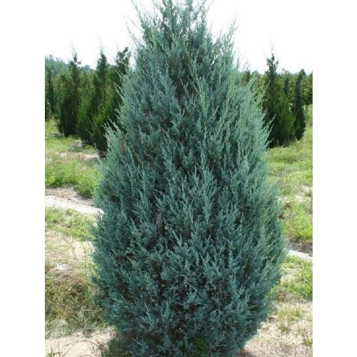Juniper Moonglow by Gallon