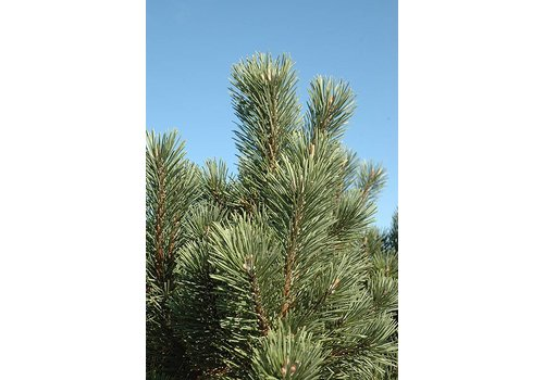 Pine Columnar Mugo