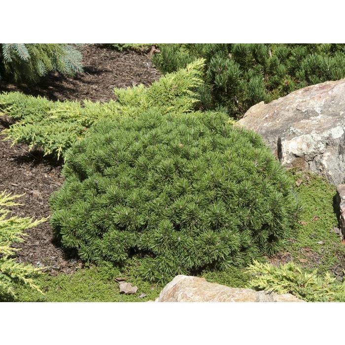 Pine Mugo Mops