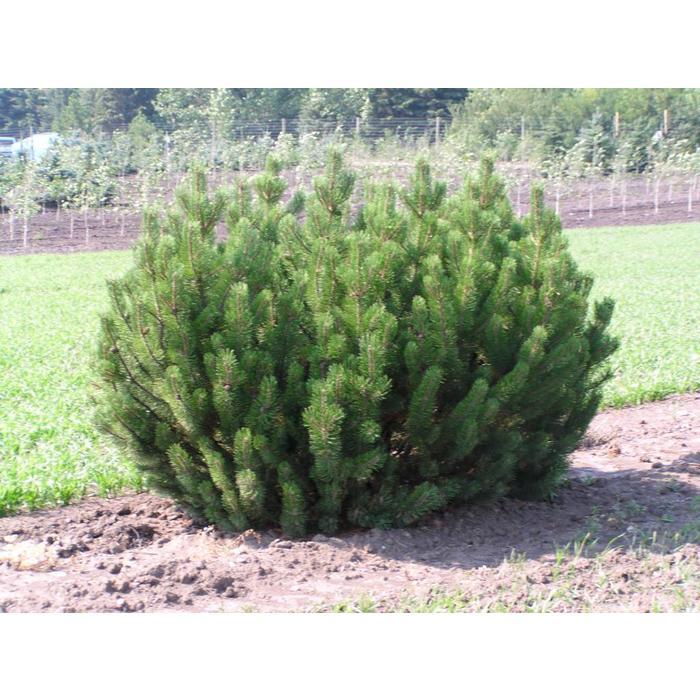 Pine Mugo