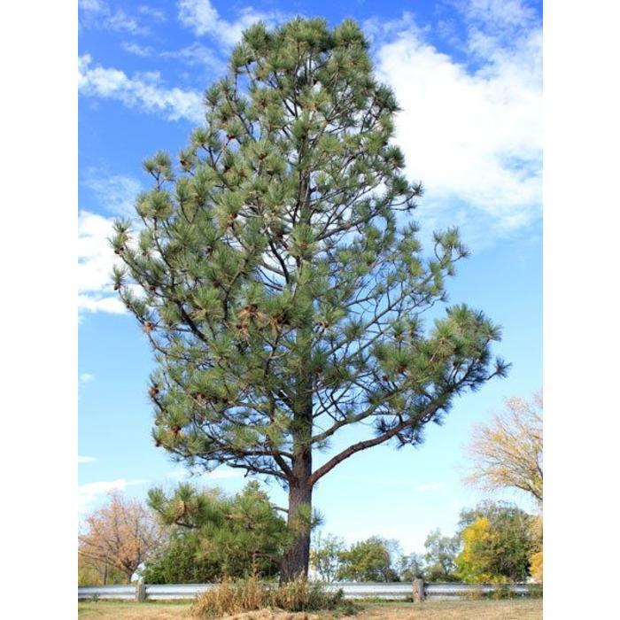 Pine Ponderosa by Feet
