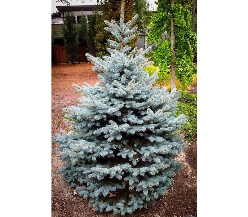 Spruce Baby Blue by Gallon