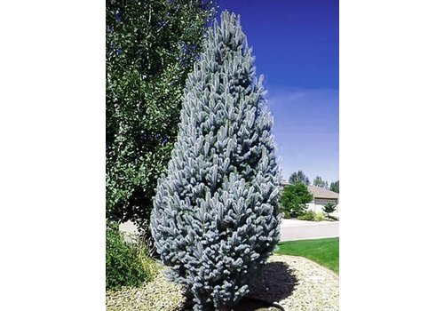 Spruce Columnar Blue/Green by Gallon