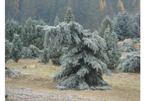Spruce Weeping Blue