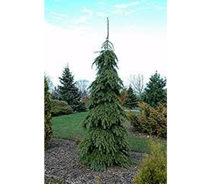 Spruce Weeping White