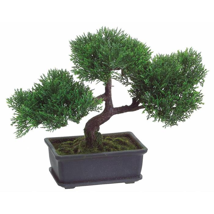 Cedar Bonsai In Pot 9""