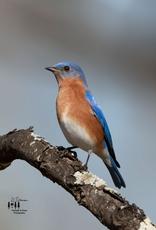 Art Blue Bird Print by Palmetto & Pines Photography