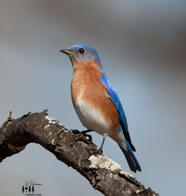 Art Blue Bird Print by Palmetto & Pines Photography