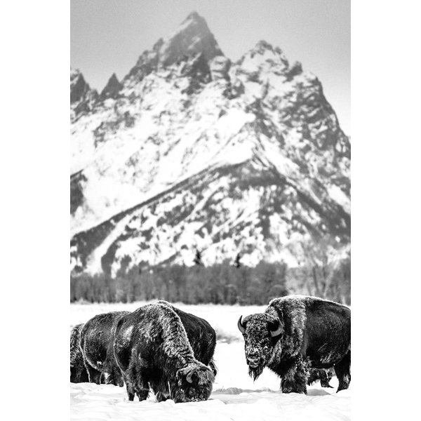 Yellowstone Bison Edition #1