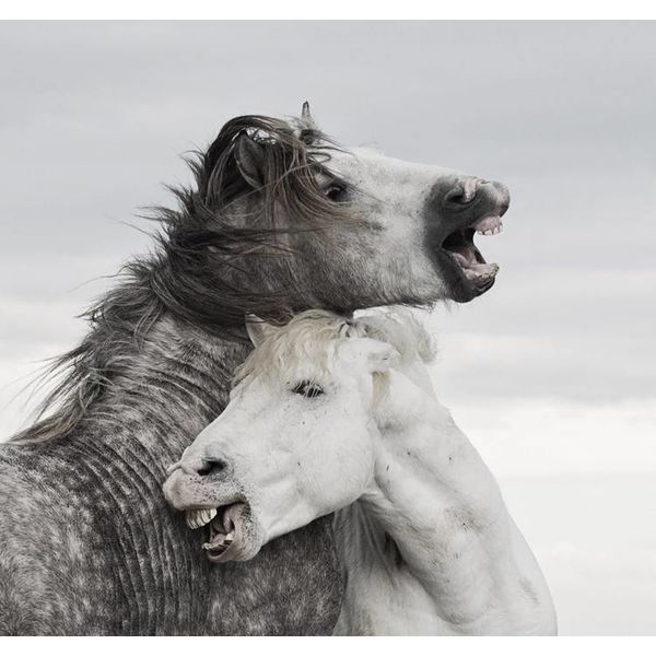 Camargue Stallions