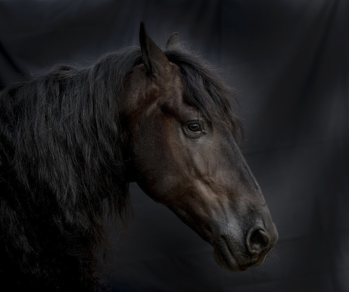 NETHERLANDS FRIESIAN 854