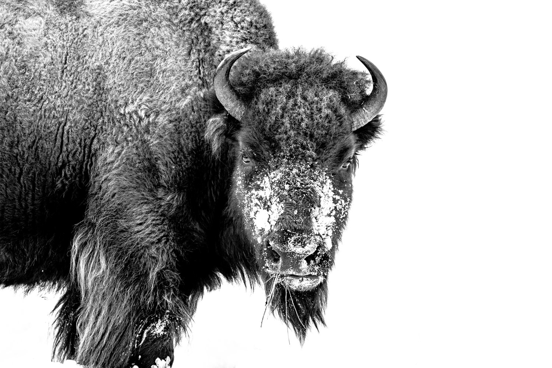 Portrait Bison