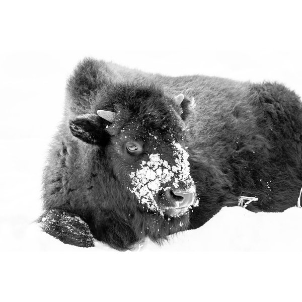 Serenity Bison