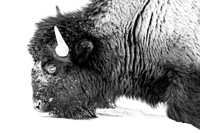 Fresh Snow Bison