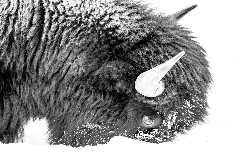 Snow Faced Bison
