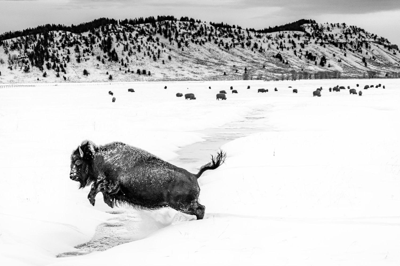 Jumping Bison