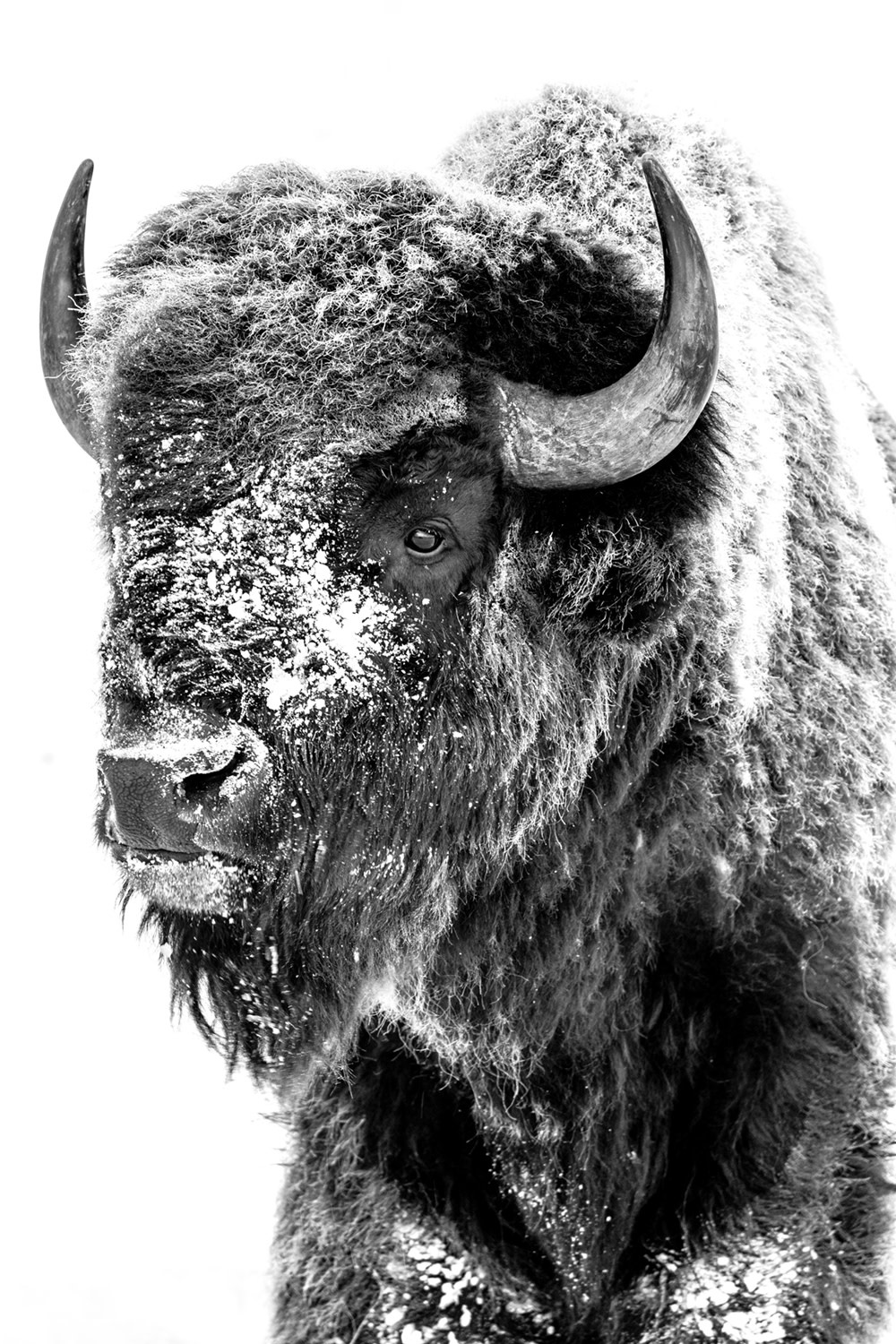 Stoic Bison