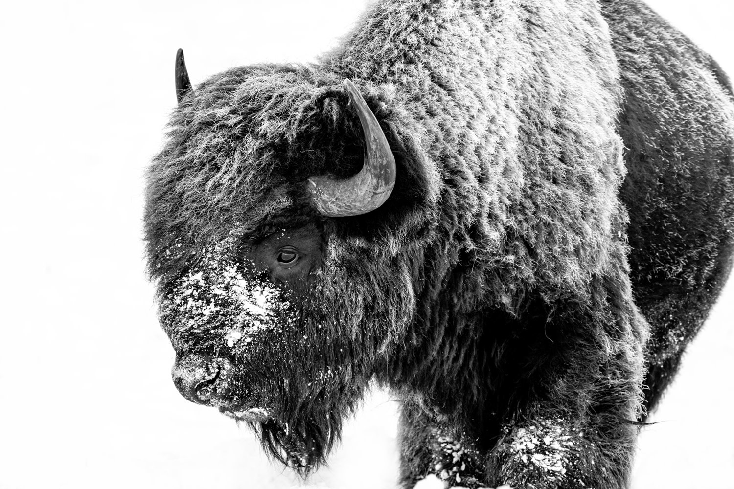 Stoic Bison II