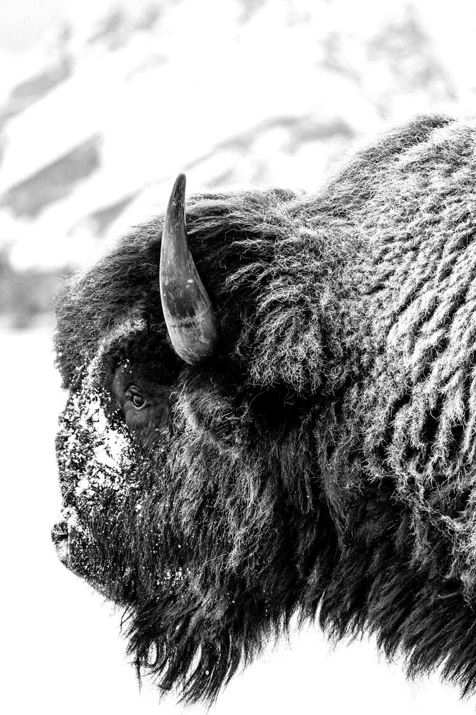 Tranquil Bison