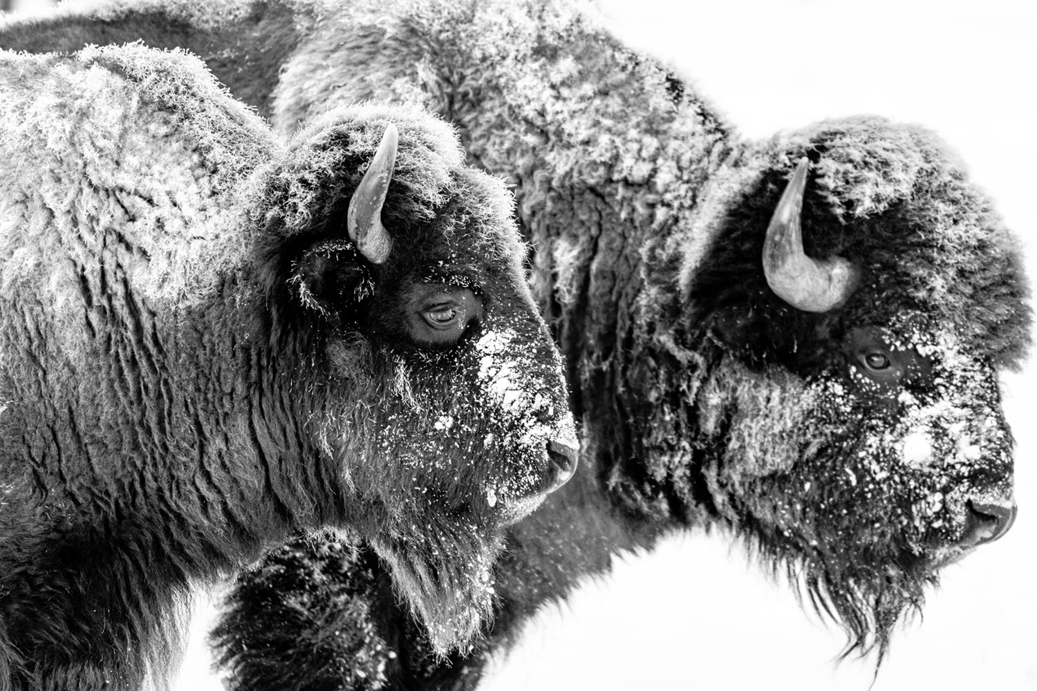 Two Bison