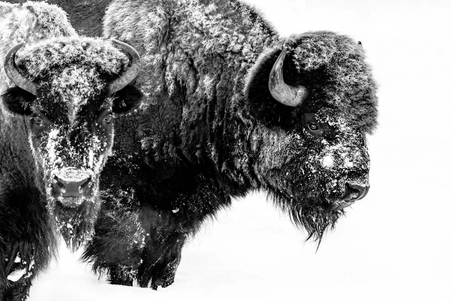 Two Bison II