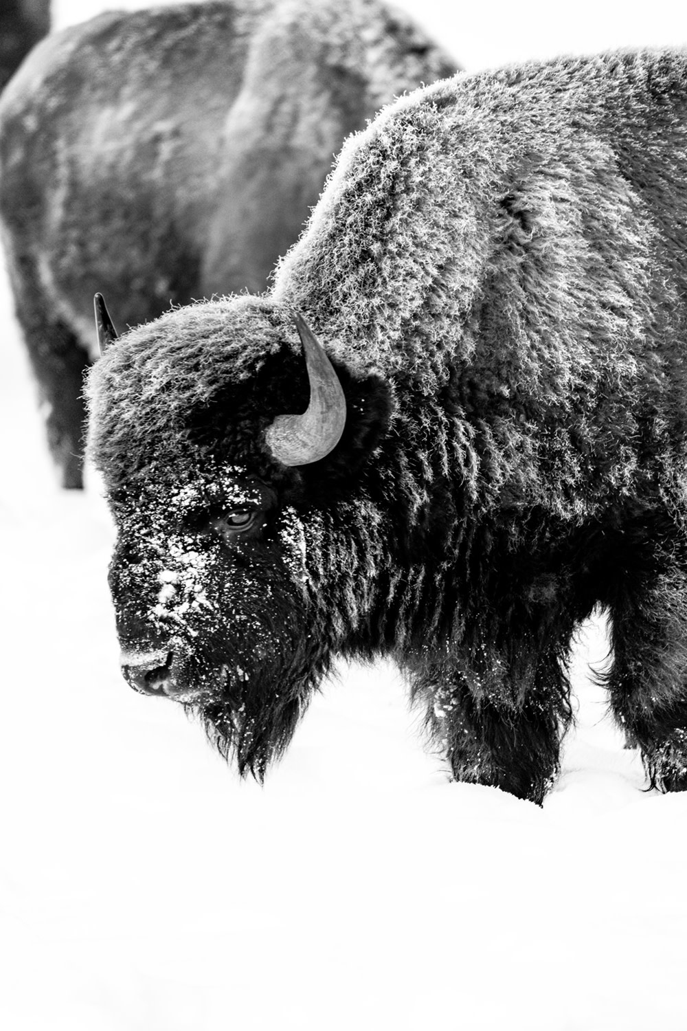 Tranquil Bison II