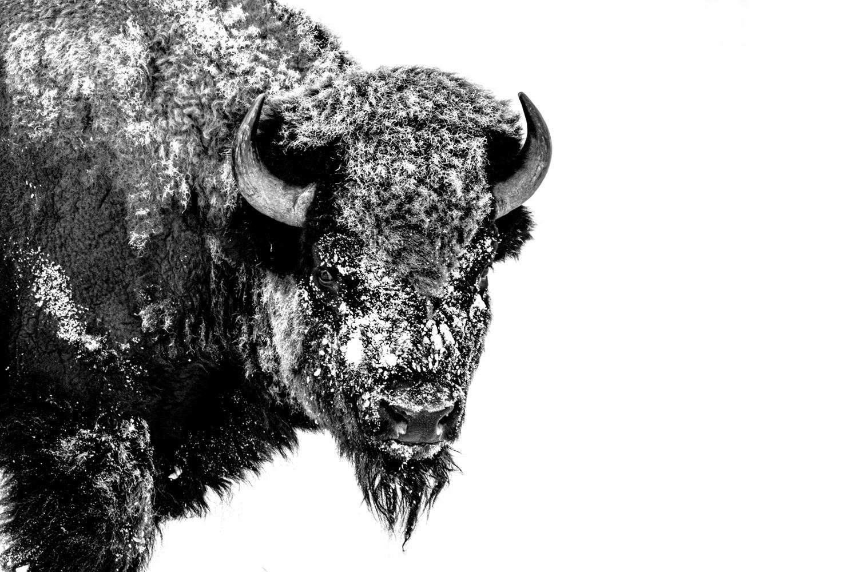 The Last Bison
