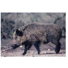 Delta TGT-Face- Delta Photo Animal Target Boar Pig 70615 Ea