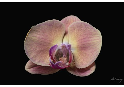 Orchid Metal Print 12 x 18''