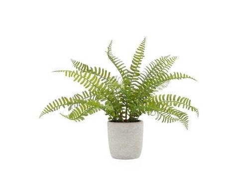 "Solero Round Potted Plant Boston Fern 3.5""D"