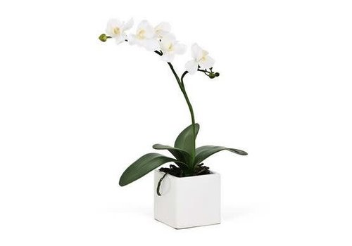 """Orchid White SM 16""""h"""