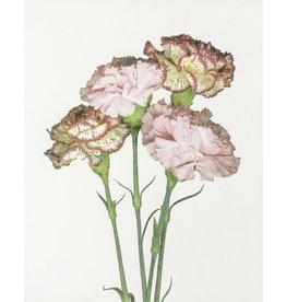 Smith, Suzie untitled (carnations)