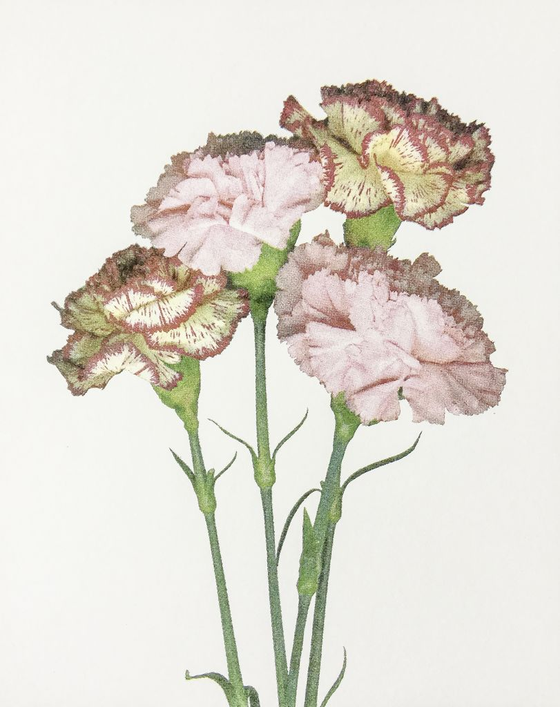 Smith, Suzie untitled (carnations)