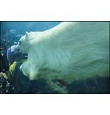 LeBlanc, Marie Polar Bear