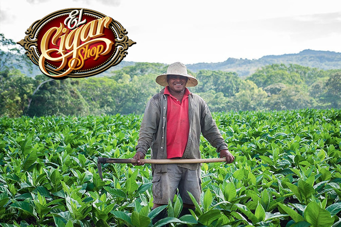 Tobacco from farm to the Cigar