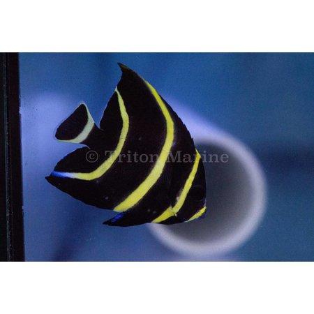 French Angelfish (Pomacanthus paru) juv changing