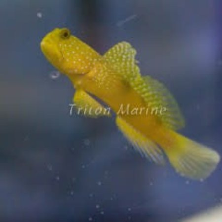 Yellow Watchman Goby  (Cryptocentrus cinctus)