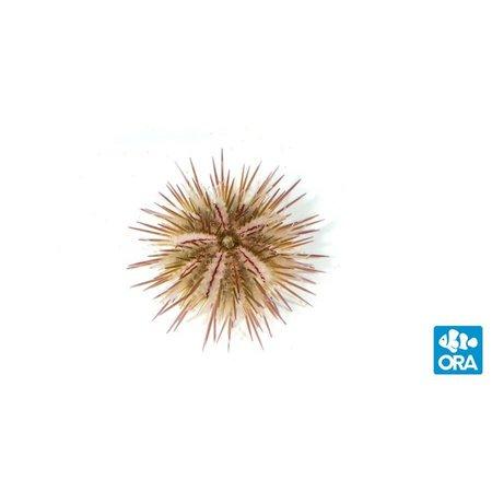 ORA Variegated Urchin (Lytechinus variegatus)