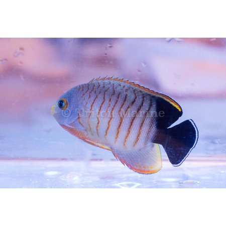 Angelfish, Dwarf
