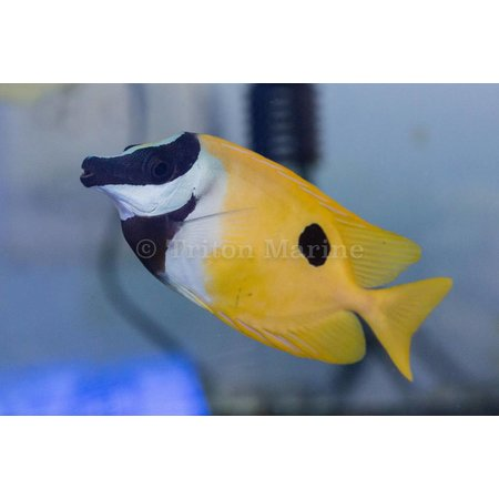 Foxface/Rabbitfish
