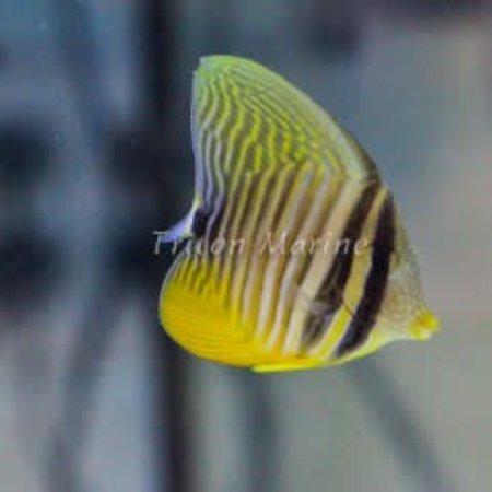 Red Sea Sailfin Tang (Zebrasoma desjardini)