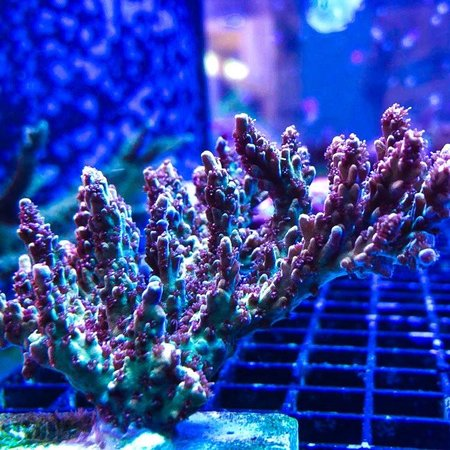 SPS Hard Corals