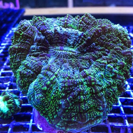 Button/Meat Corals